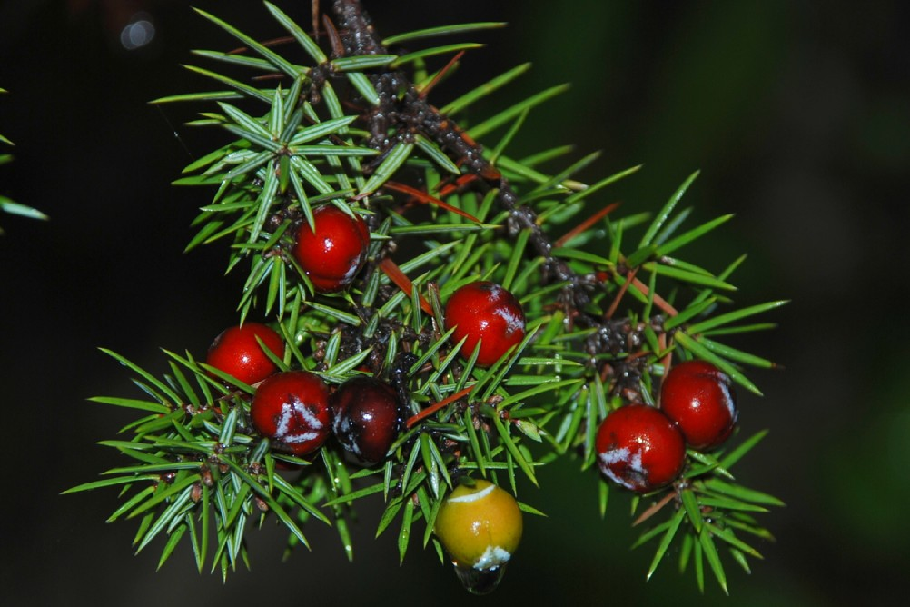 Juniperus oxycedrus subsp. oxycedrus 5