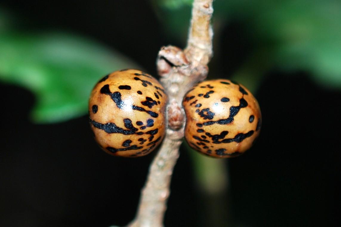 Kermes sp. - Rhynchota, Coccoidea