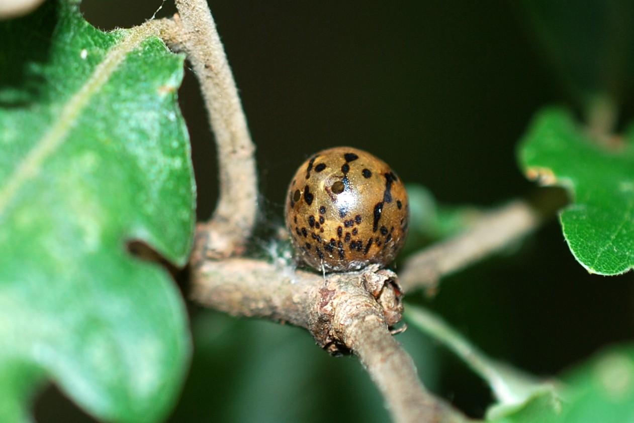 Kermes sp. - Rhynchota, Coccoidea 2