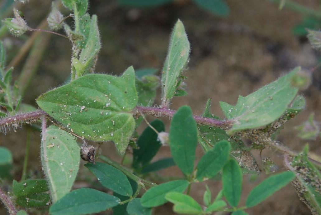 Kickxia elatine subsp. crinita 11