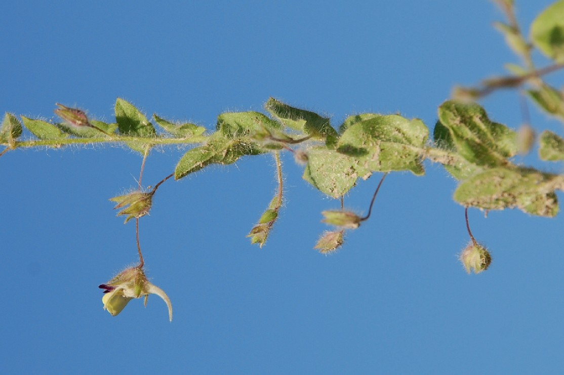 Kickxia elatine subsp. crinita 12