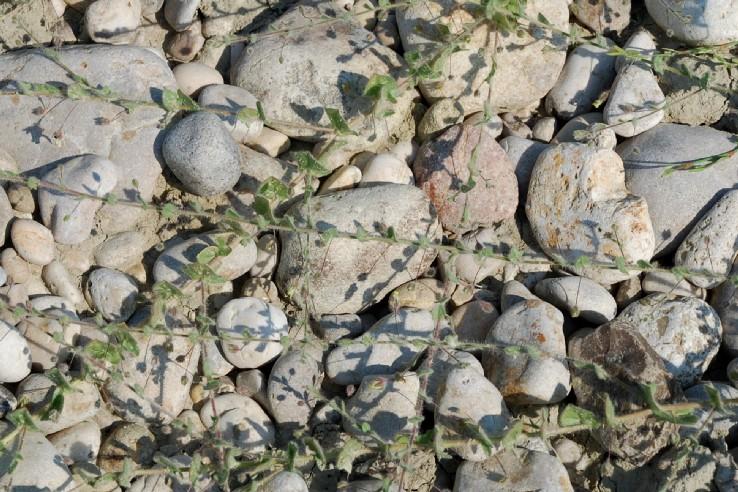 Kickxia elatine subsp. crinita 16