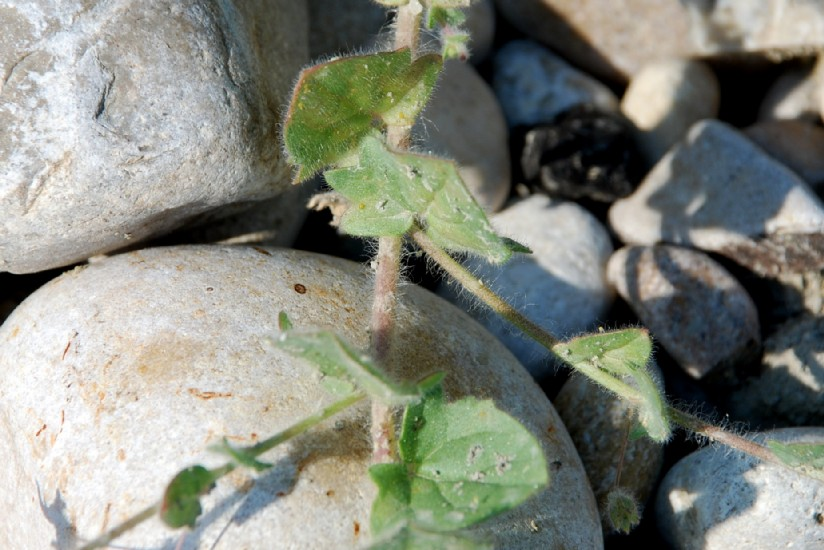 Kickxia elatine subsp. crinita 17