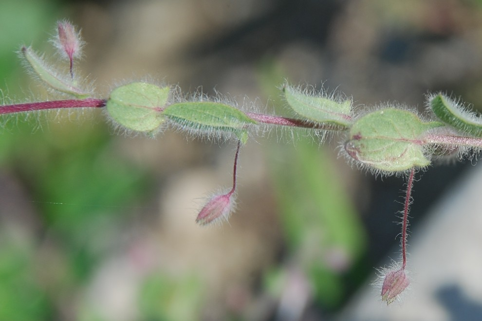 Kickxia elatine subsp. crinita 19