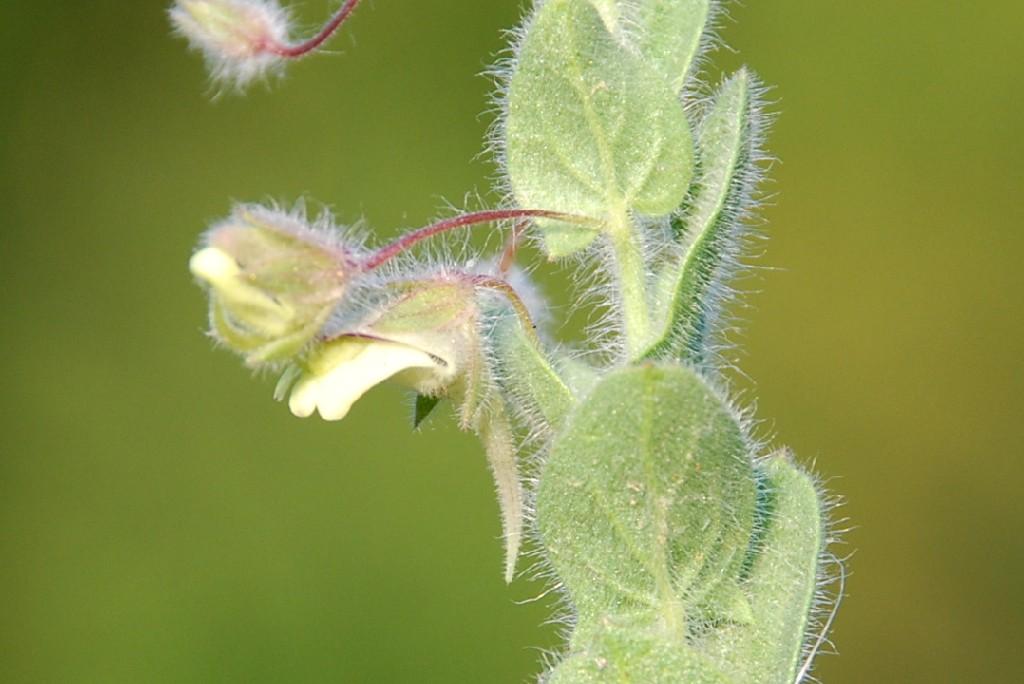 kickxia elatine subsp. crinita 3