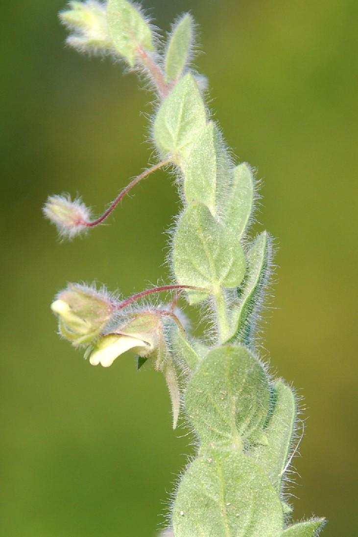 Kickxia elatine subsp. crinita 7