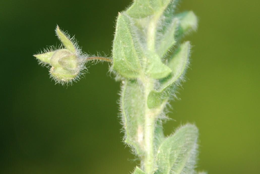 Kickxia elatine subsp. crinita 9