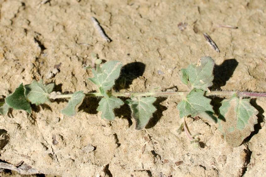 Kickxia elatine subsp. elatine 13