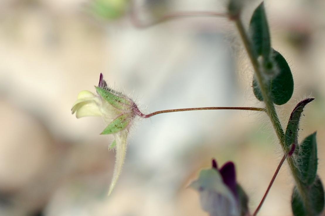 Kickxia elatine subsp. elatine 15