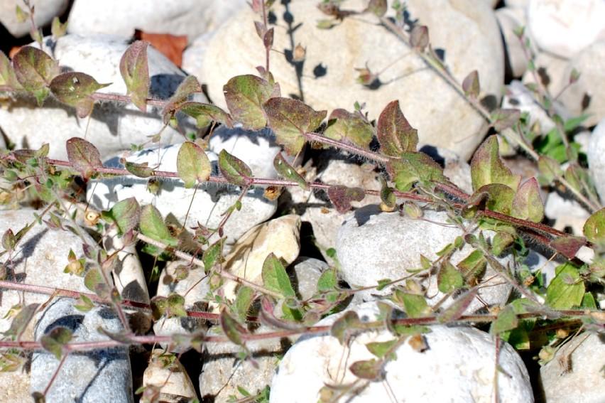 Kickxia elatine subsp. elatine 16