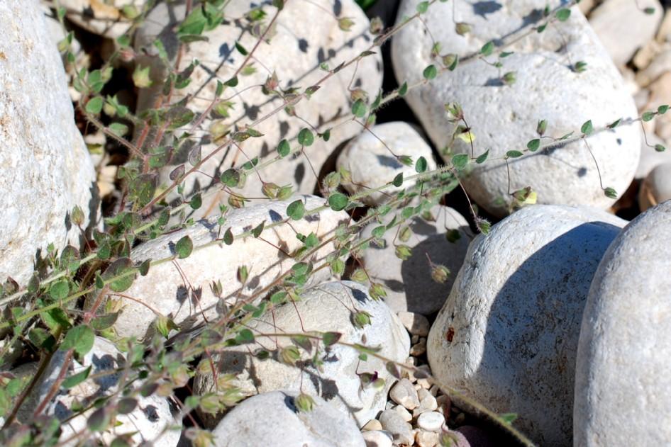 Kickxia elatine subsp. elatine 17