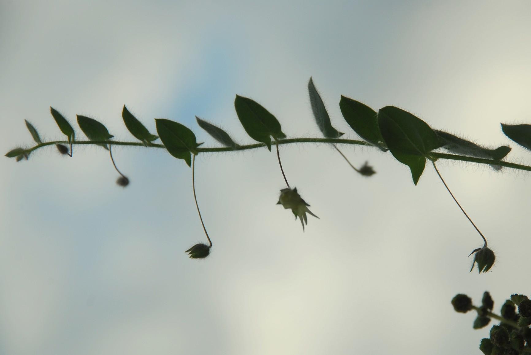 Kickxia elatine subsp. elatine 2