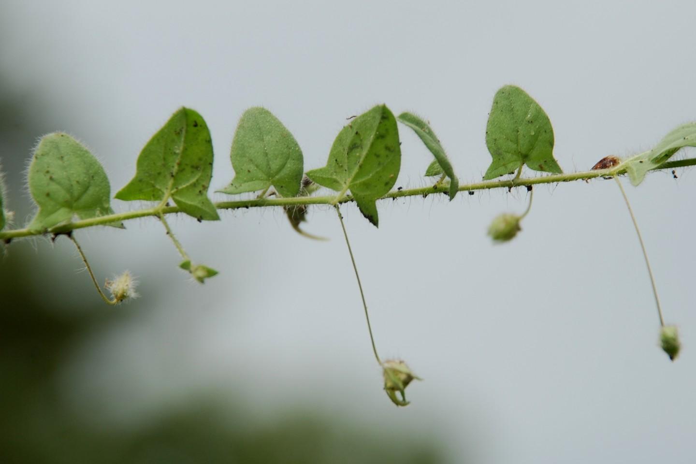 Kickxia elatine subsp. elatine 6