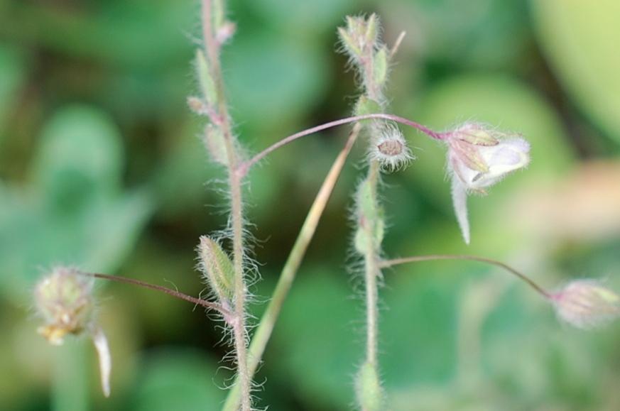 Kickxia elatine subsp. elatine 8