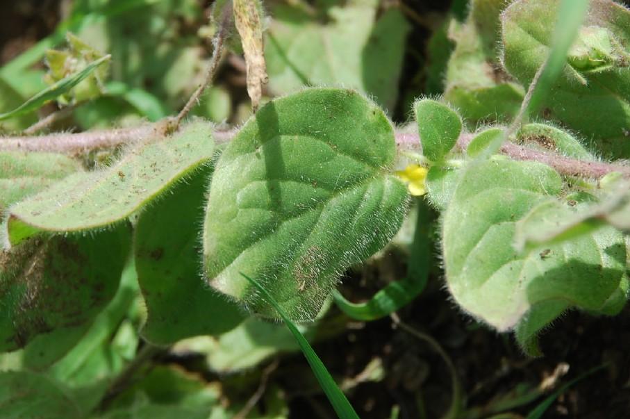 Kickxia spuria subsp. integrifolia 39