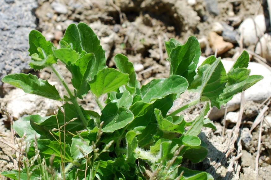 Kickxia spuria subsp. integrifolia 43