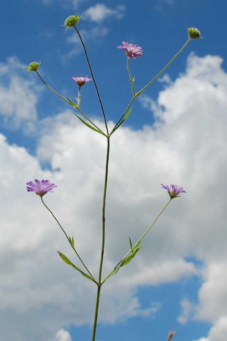 Knautia integrifolia 10