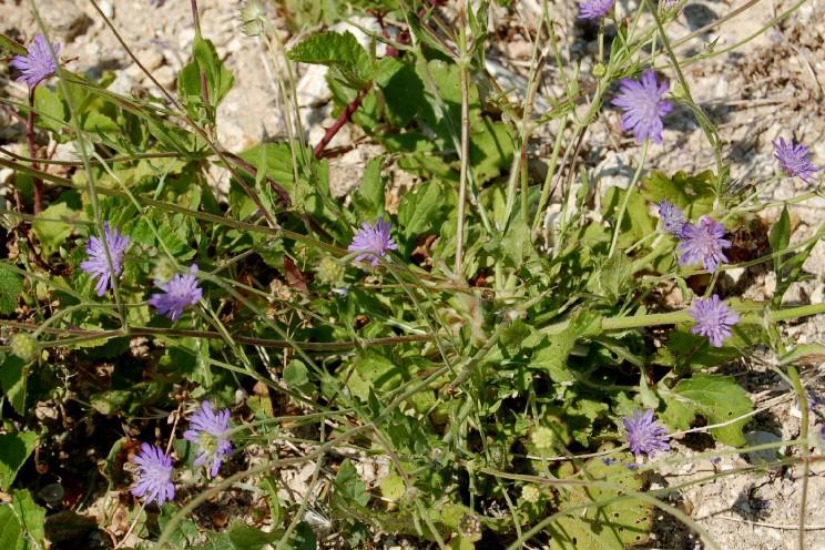 Knautia integrifolia 13