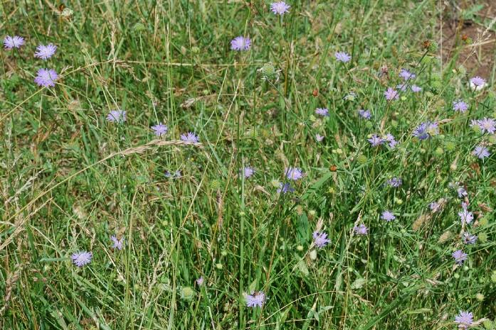 Knautia integrifolia 14