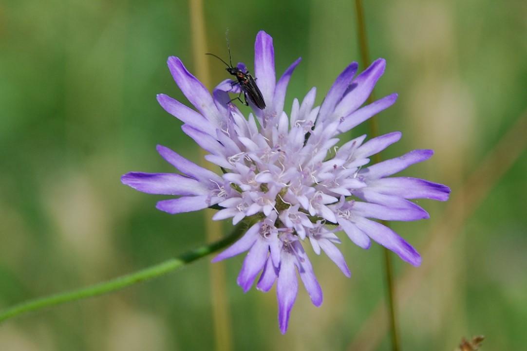 Knautia integrifolia 2
