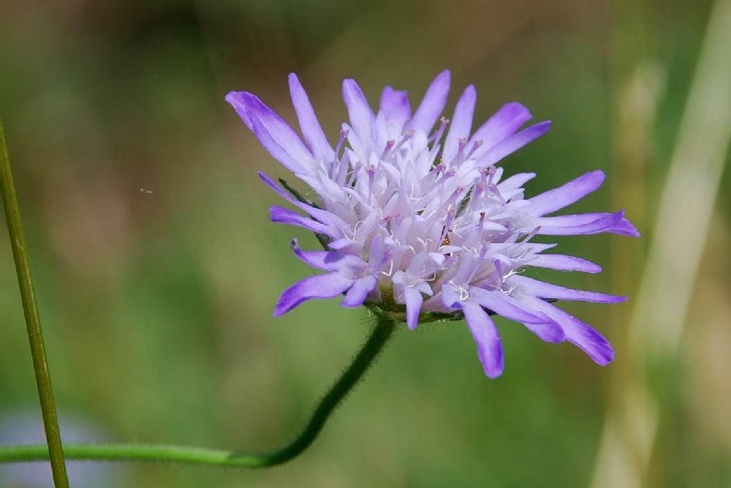 Knautia integrifolia 3