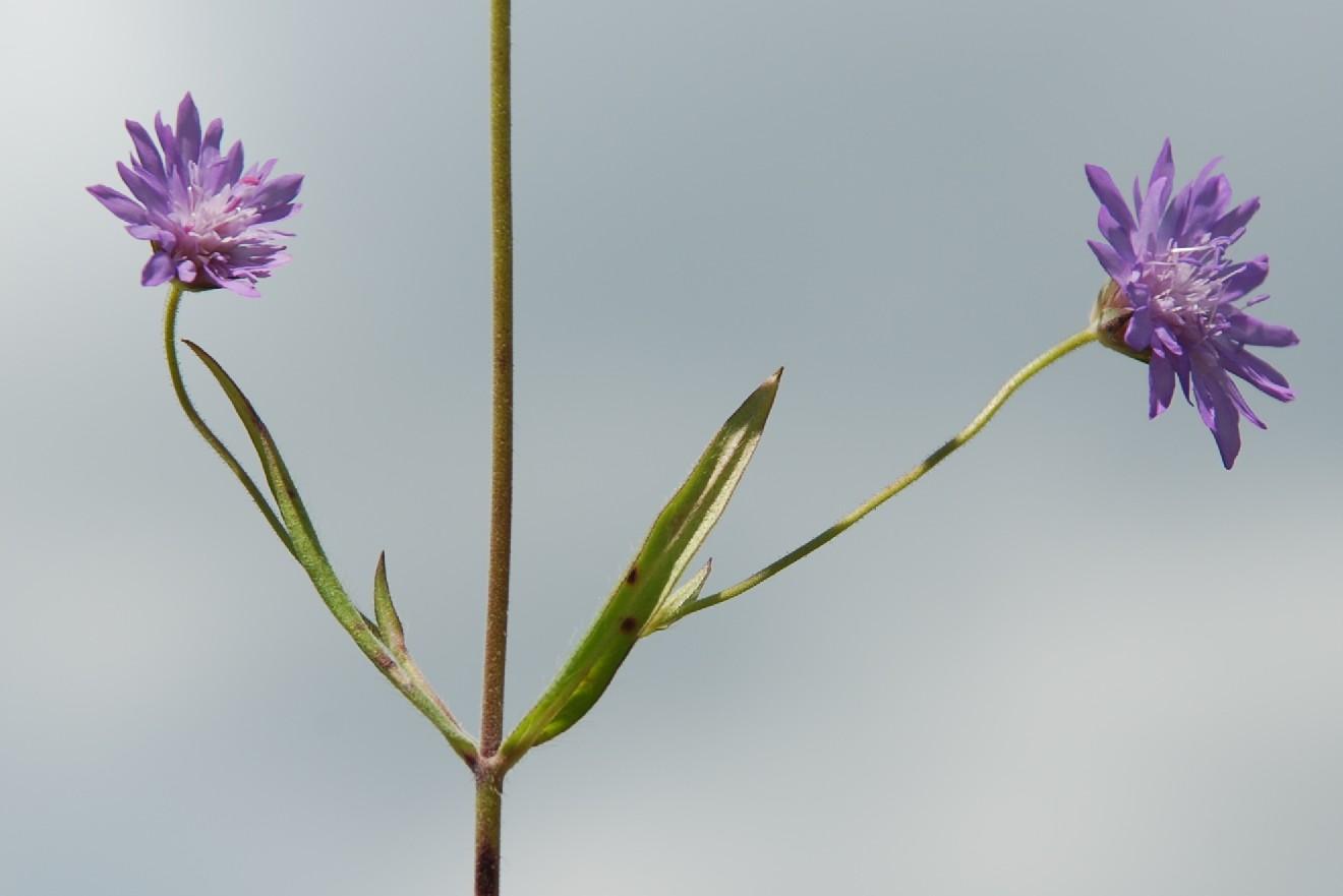 Knautia integrifolia 4