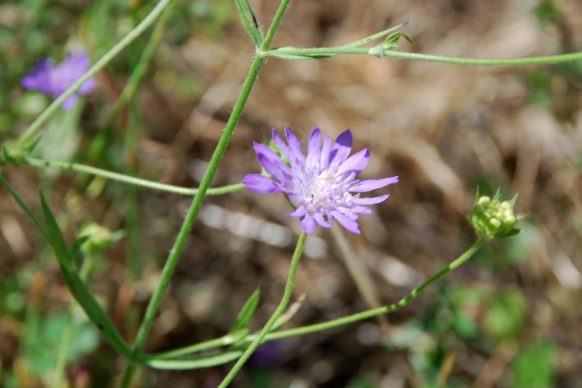 Knautia integrifolia 5