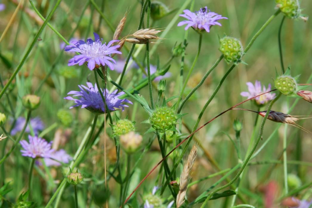 Knautia integrifolia 6