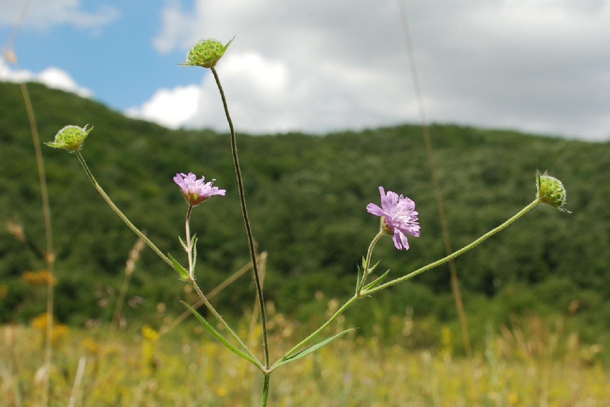 Knautia integrifolia 7