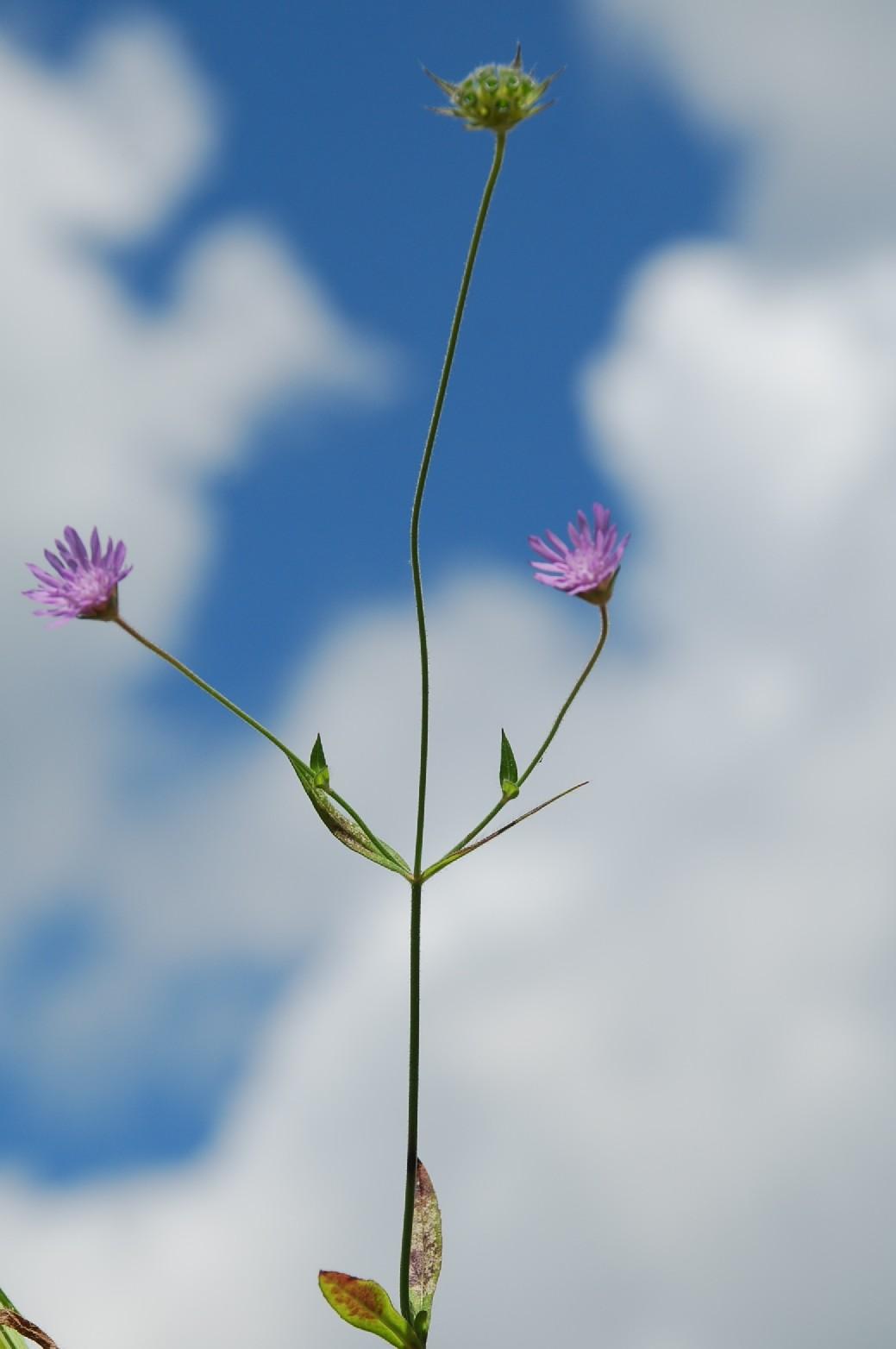 Knautia integrifolia 8
