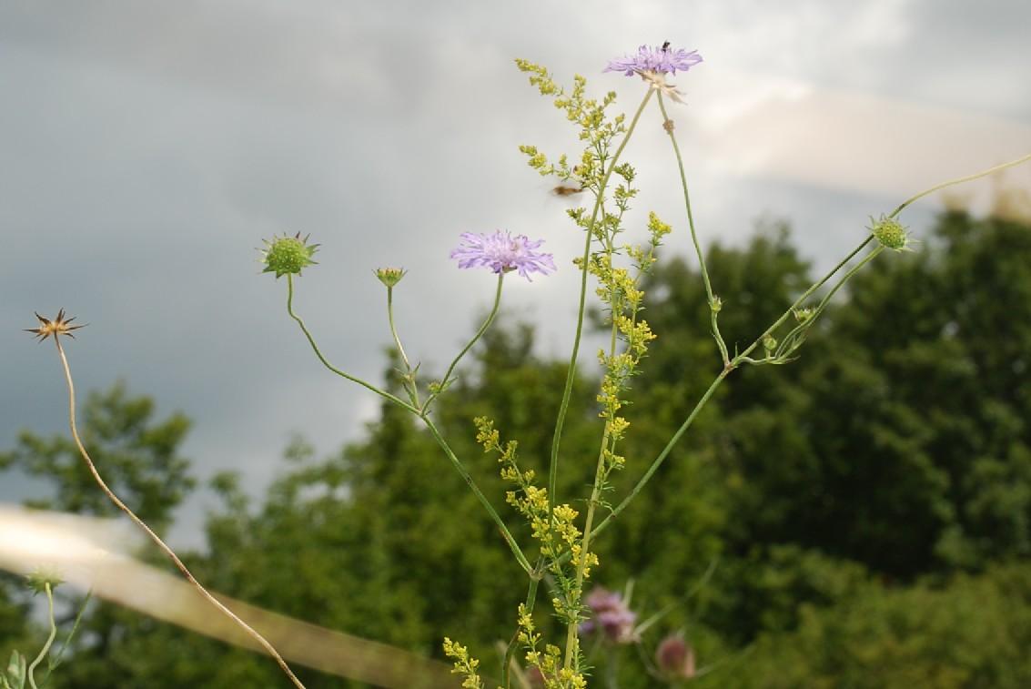 Knautia integrifolia 9