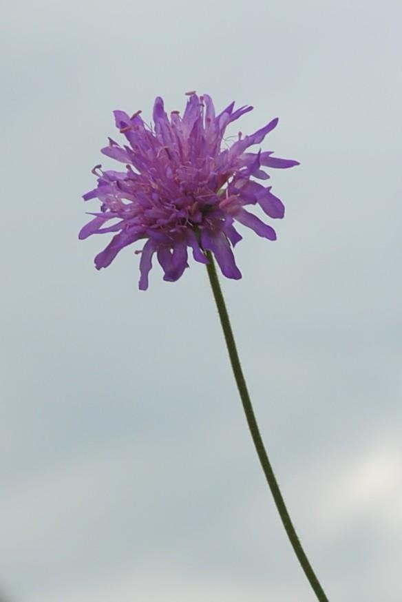Knautia purpurea 16