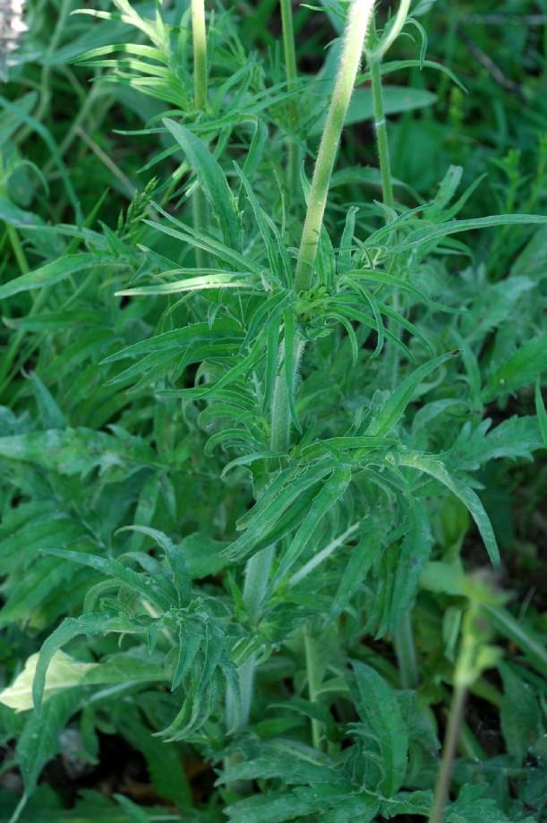 Knautia purpurea 22