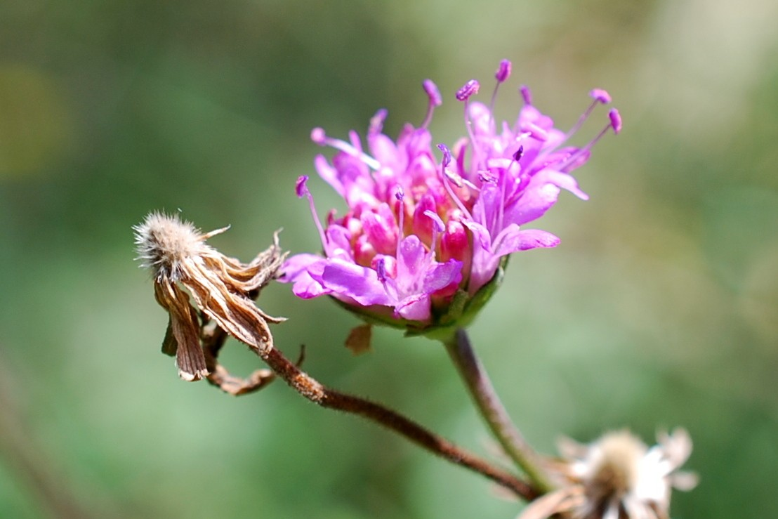 Knautia purpurea 40