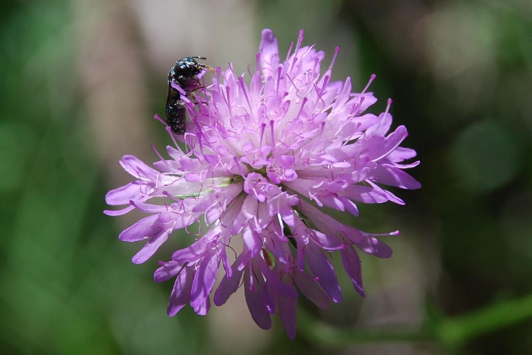 Knautia purpurea 41