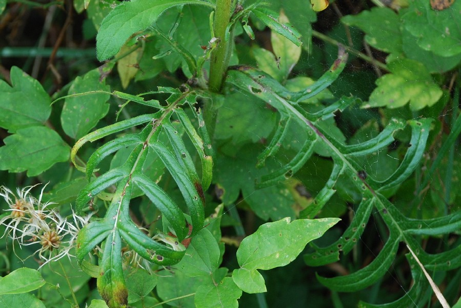 Knautia purpurea 59