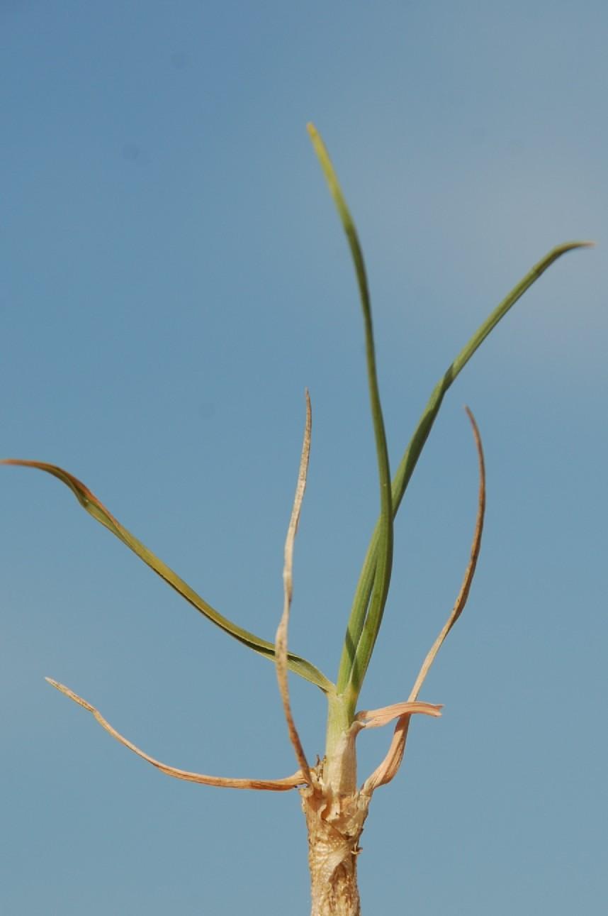 Koeleria macrantha 11