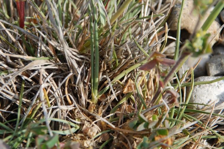 Koeleria macrantha 7