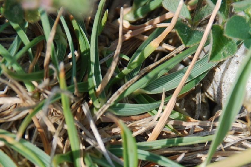 Koeleria macrantha 8