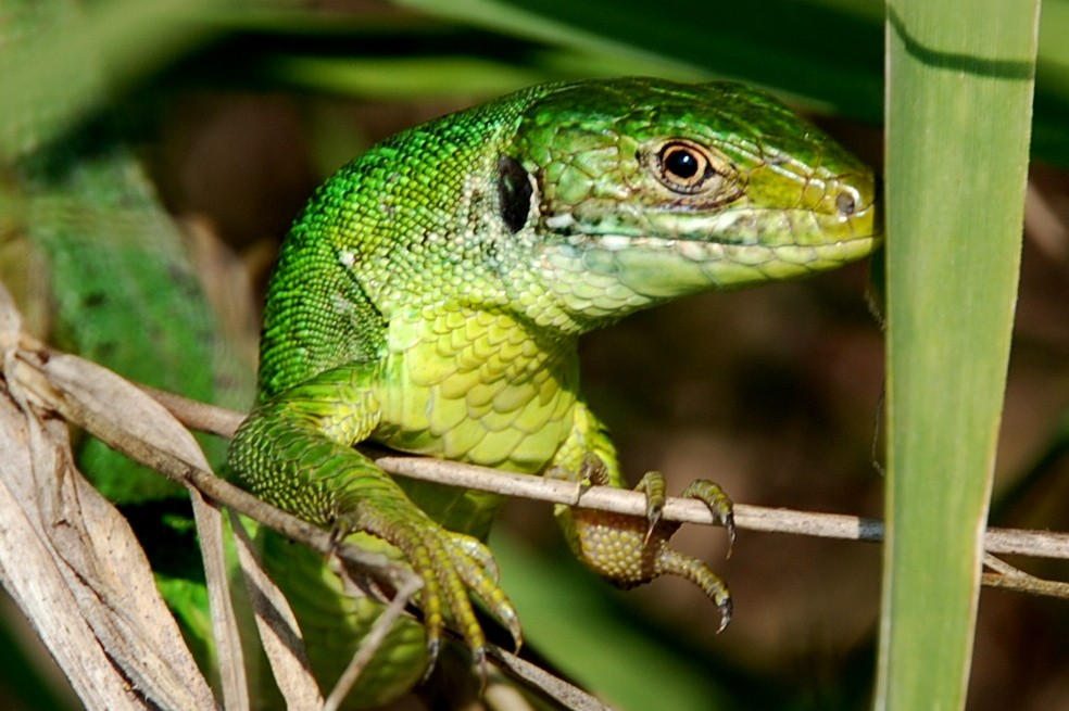 Lacerta bilineata - Lacertidae - Ramarro
