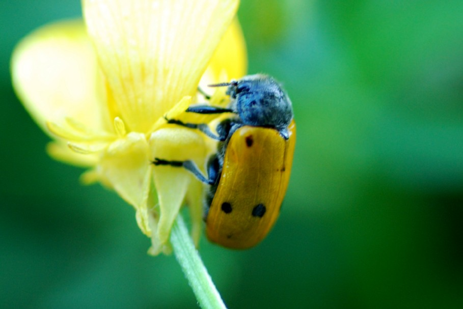 Lachnaia italica - Chrysomelidae