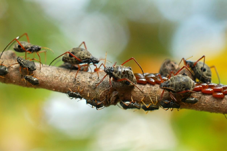 Lachnus roboris - Aphididae