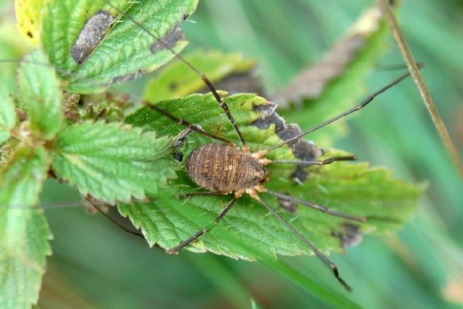 Lacinius sp. - Phalangiidae