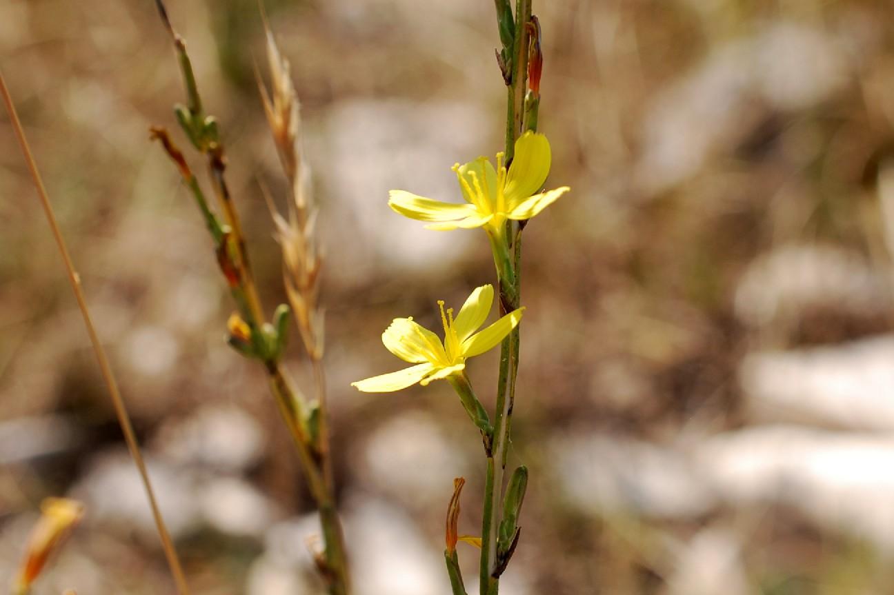 Lactuca viminea subsp. viminea 10
