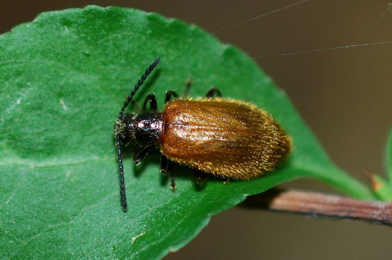 Lagria hirta - Tenebrionidae