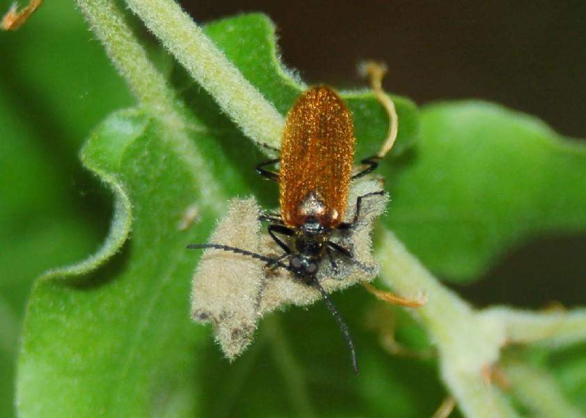 Lagria sp. - Tenebrionidae