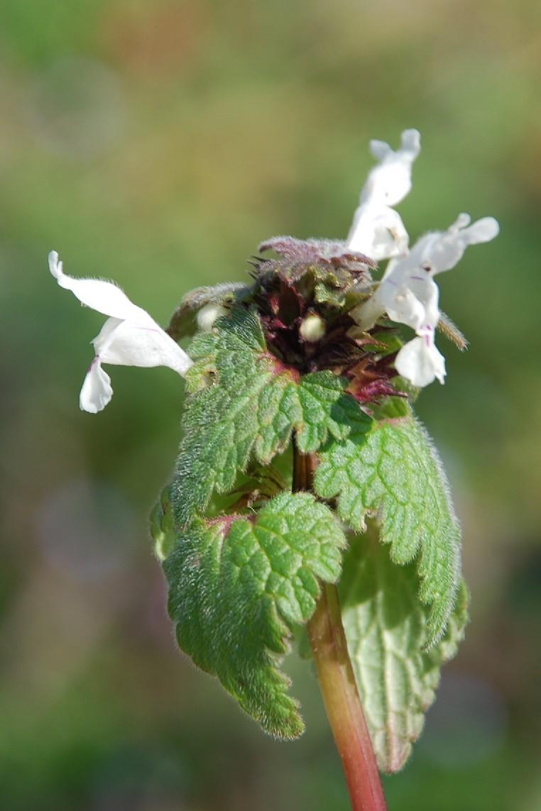 Lamium bifidum subsp. bifidum 11