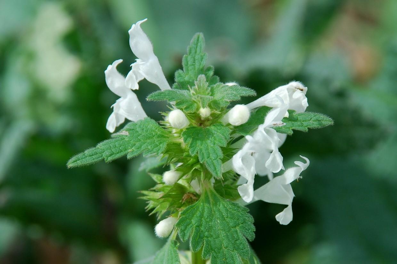 Lamium bifidum subsp. bifidum 13