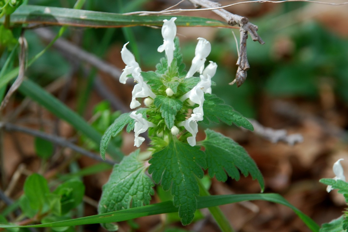 Lamium bifidum subsp. bifidum 14