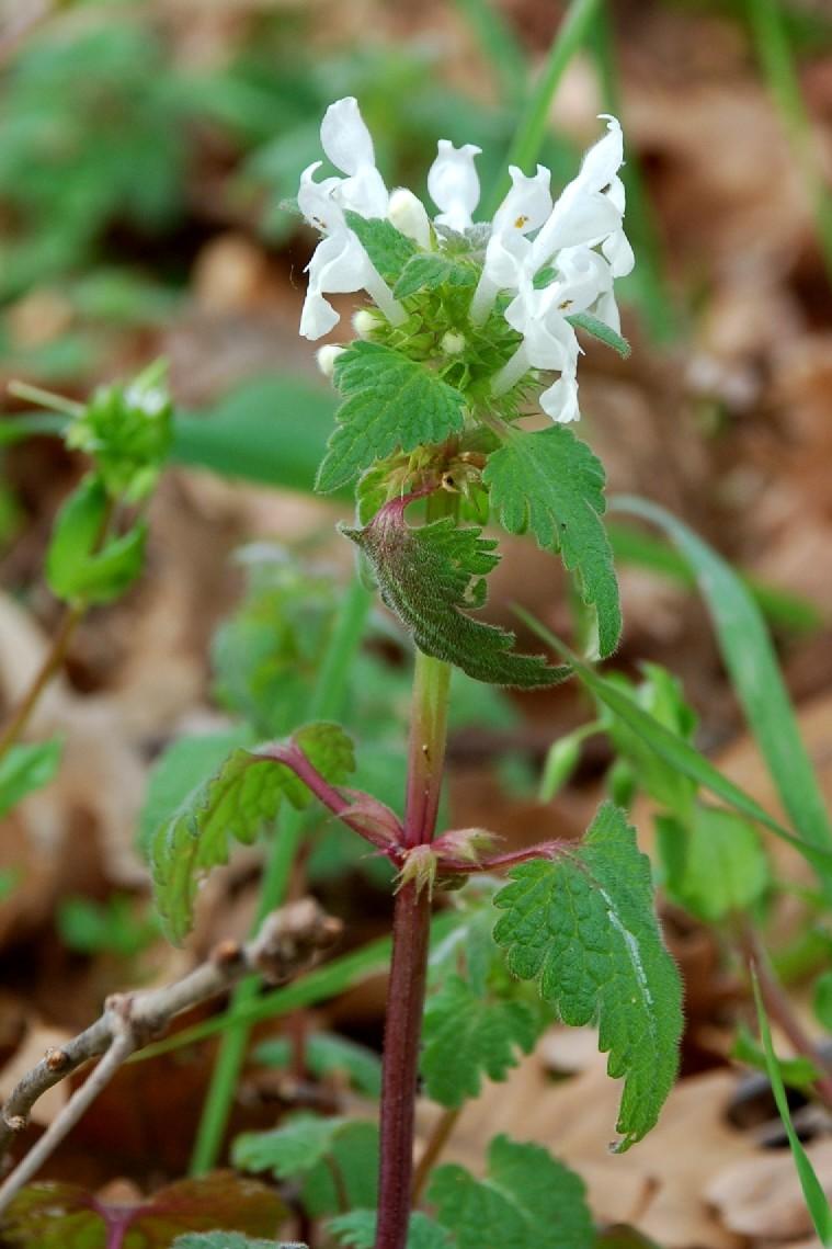 Lamium bifidum subsp. bifidum 16